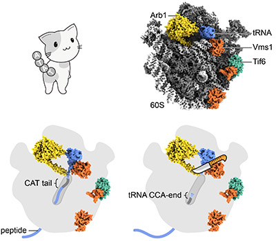 img cat ribosome